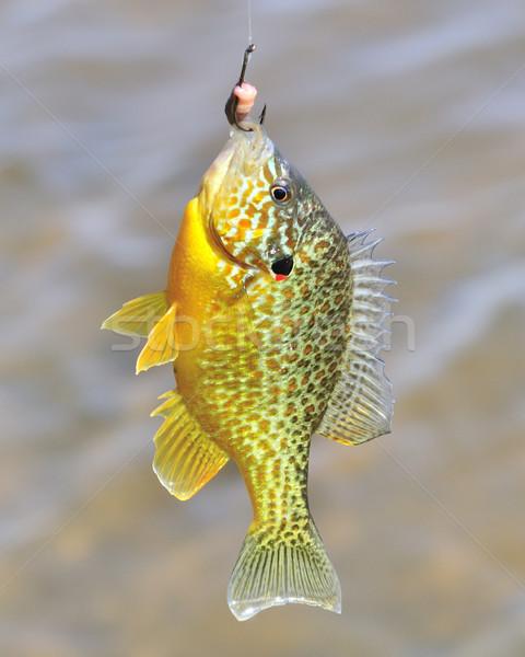 Sunfish On  Hook Stock photo © brm1949