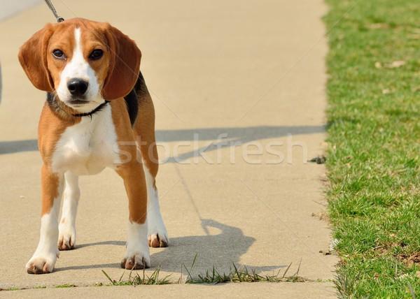 Beagle parco giovani piedi cute Foto d'archivio © brm1949