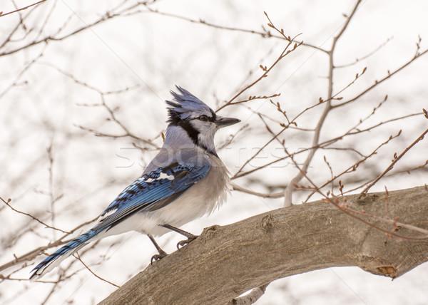 синий природы птица животного лесу Сток-фото © brm1949