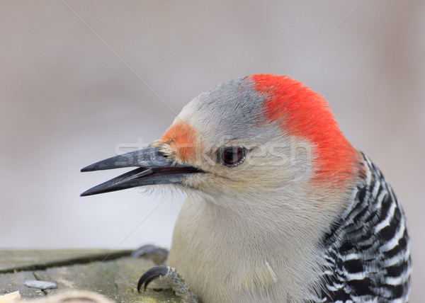 Red-bellied Woodpecker Head Shot Stock photo © brm1949