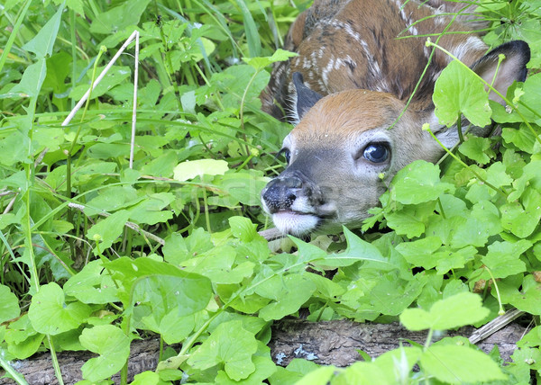 Whitetail Deer Fawn Stock photo © brm1949