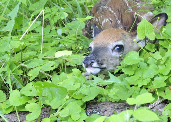 Herten reekalf pasgeboren verbergen gras Stockfoto © brm1949