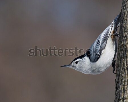White-breasted Nuthatch (Sitta carolinensis) Stock photo © brm1949