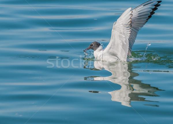 Bonaparte's Gull Stock photo © brm1949