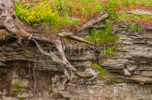 Tree Roots In Shale Stock photo © brm1949