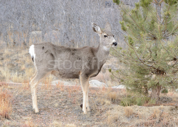 Mule Deer Doe Stock photo © brm1949