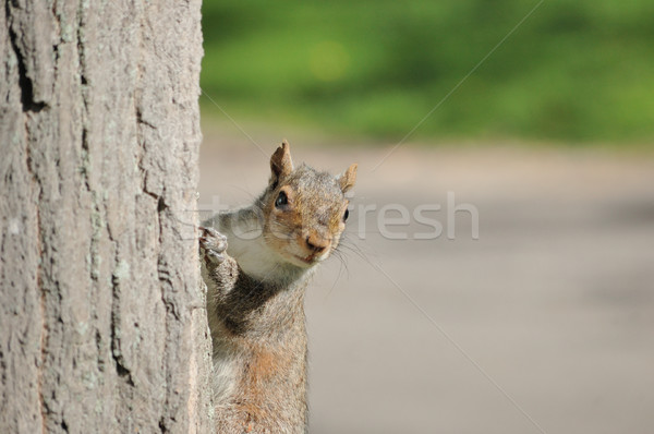 Stock photo: Gray Squirrel