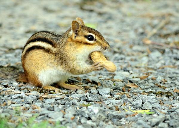 Chipmunk sessão cascalho alimentação amendoim animal Foto stock © brm1949