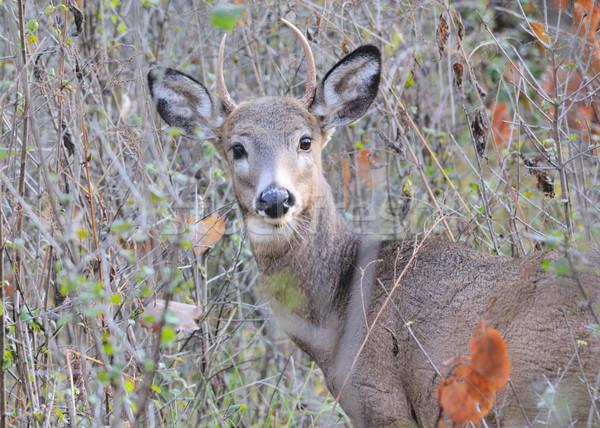 鹿 バック 立って 森 自然 ストックフォト © brm1949