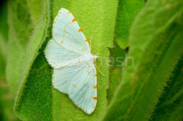 Lesser Maple Spanworm Moth Stock photo © brm1949