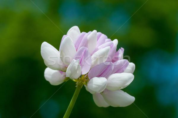 Trevo flor macro tiro natureza Foto stock © brm1949
