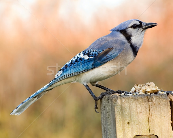 Blue Jay Stock photo © brm1949