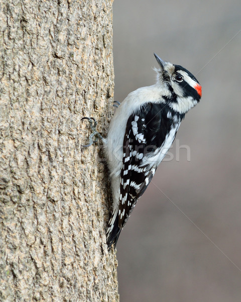 Male Downy Woodpecker Stock photo © brm1949