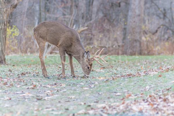 ストックフォト: 鹿 · バック · 立って · フィールド · 動物 · トロフィー