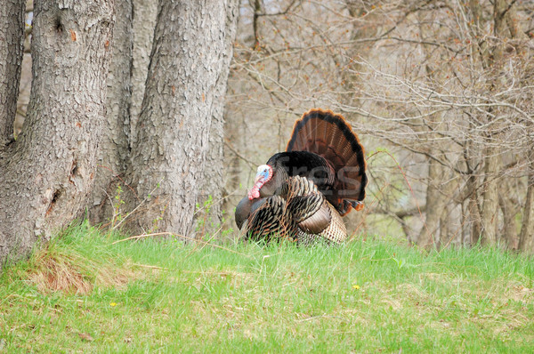 Wild Turkey (Meleagris gallopavo) Stock photo © brm1949