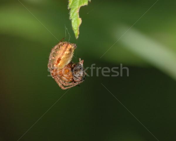 Stock photo: Garden Spider