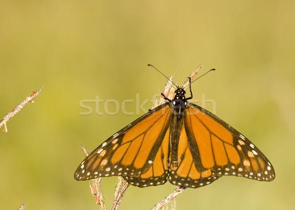Viceroy Butterfly (Limenitis archippus) Stock photo © brm1949