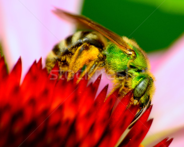 Verde metálico abelha flor Foto stock © brm1949
