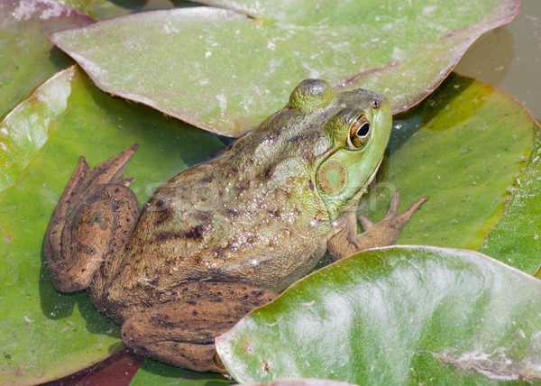 Bullfrog On A Lilly Pad Stock photo © brm1949