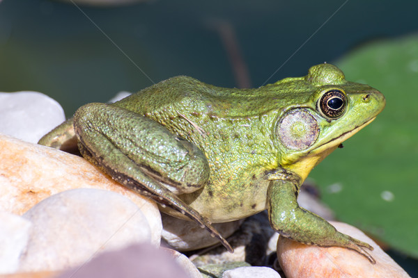 Bullfrog sitting in the water in a swamp. Stock photo © brm1949