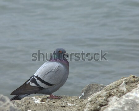 Rock Dove (Columba livia) Stock photo © brm1949