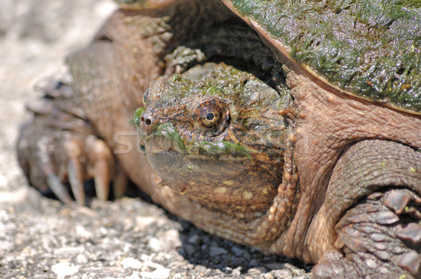 Snapping Turtle. Stock photo © brm1949