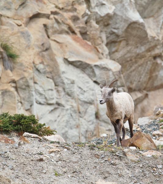 Birka park kövek kövek szőr duda Stock fotó © broker