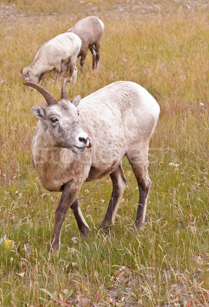 Two bighorn sheeps, ovis canadensis Stock photo © broker