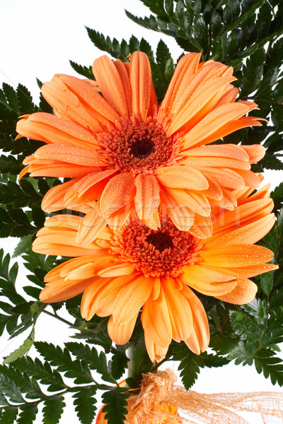 Two daisies Stock photo © broker