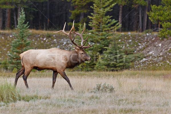 Bull elk, cervus canadensis Stock photo © broker
