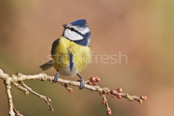 Blue tit, Parus caeruleus