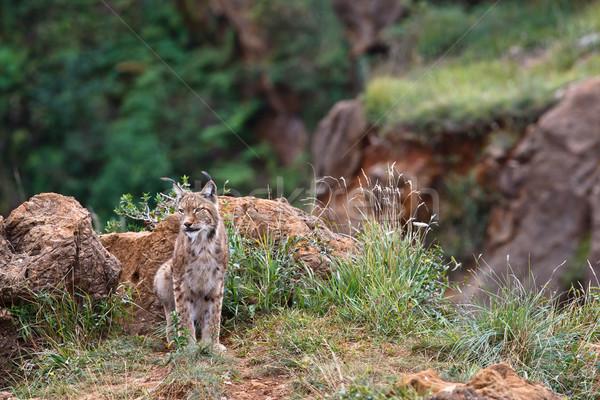 Eurasian lynx Stock photo © broker