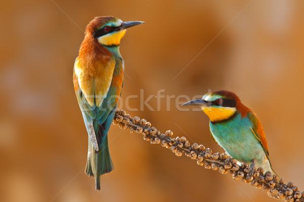 European bee-eater couple on a branch Stock photo © broker