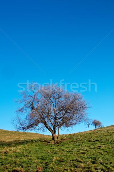 Solitary tree on blue sky Stock photo © broker