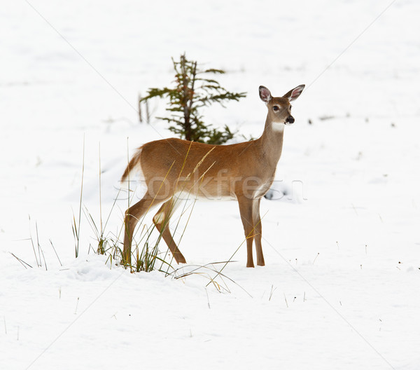 White-tailed deer, odocoileus virginianus Stock photo © broker