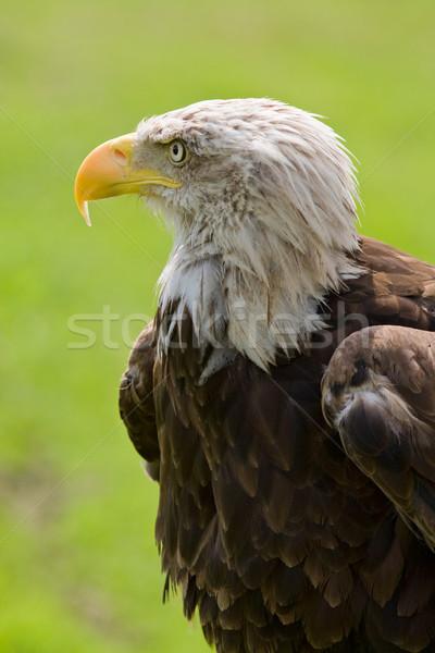 Stock photo: American bald eagle