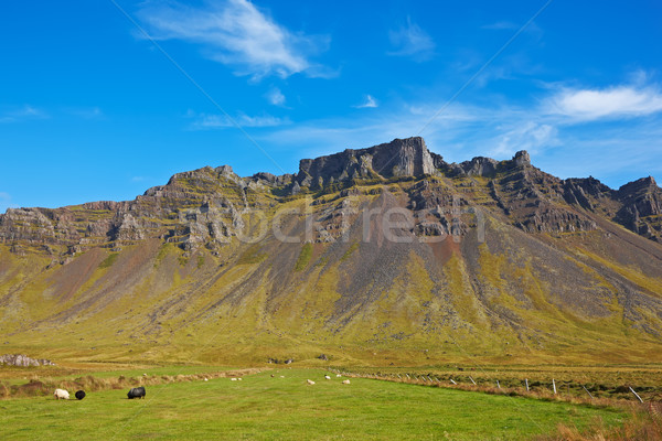 Some sheeps in the meadow, East Fjords, Iceland Stock photo © broker