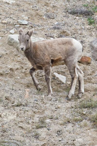 Bighorn sheep, ovis canadensis Stock photo © broker