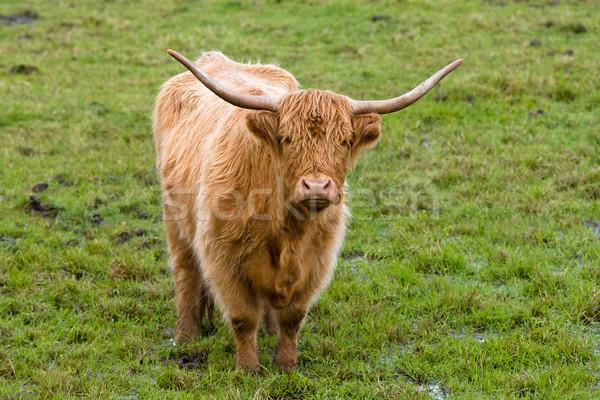 Highland cow Stock photo © broker