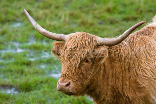 Highland cattle Stock photo © broker