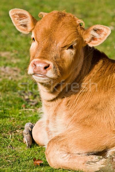 Cute calf in the meadow Stock photo © broker