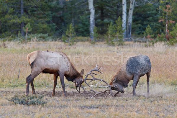 Bull Elks fighting Stock photo © broker