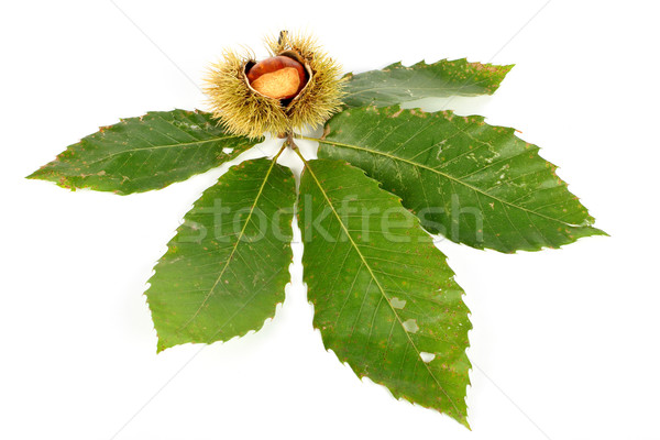 Chestnut curls and the leaves Stock photo © broker