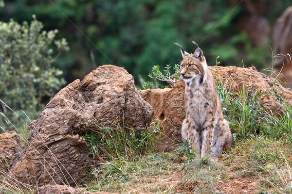 Сток-фото: рысь · жизни · парка · Открытый · млекопитающее