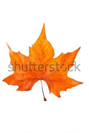 один Maple Leaf изолированный белый текстуры природы Сток-фото © broker