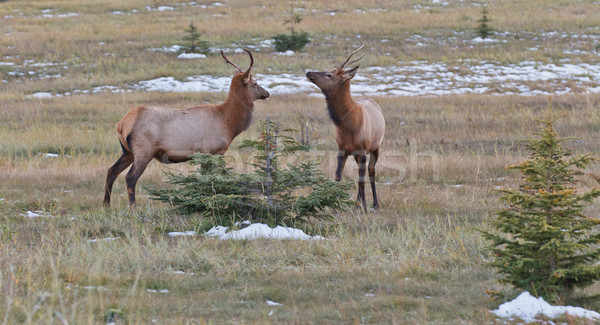 Two young male elks, cervus canadensis Stock photo © broker