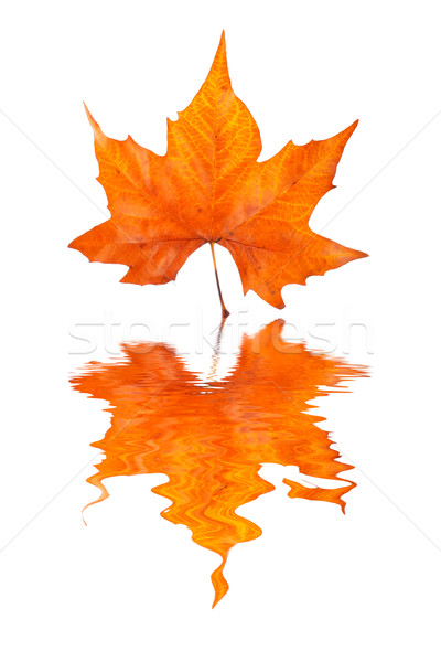 Maple leaf reflected Stock photo © broker