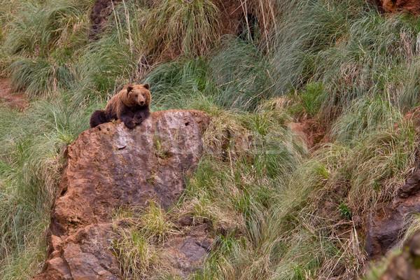 Bruine beer een rock tanden dier Stockfoto © broker