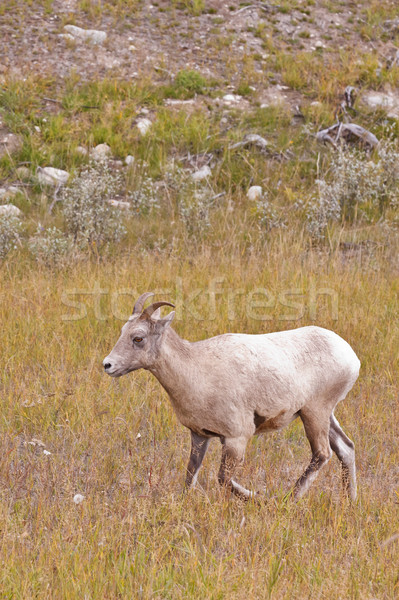Birka park fű legelő szőr duda Stock fotó © broker