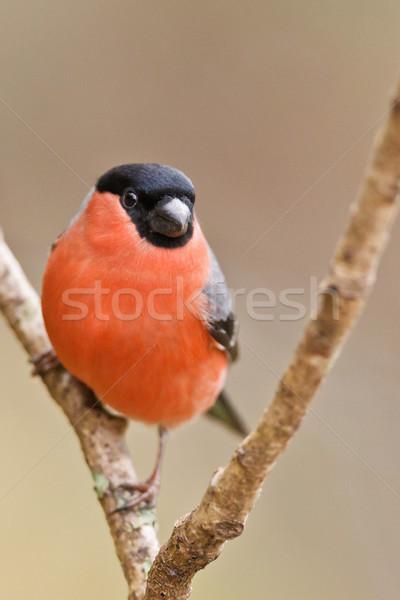 Common Bullfinch, Pyrrhula pyrrhula Stock photo © broker